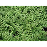 Athyrium filix-femina, Lady Fern, bright green, erect fronds are fine textured and lacy-like. Foliage is rich green and blooms are pink on upright plumes early Summer.