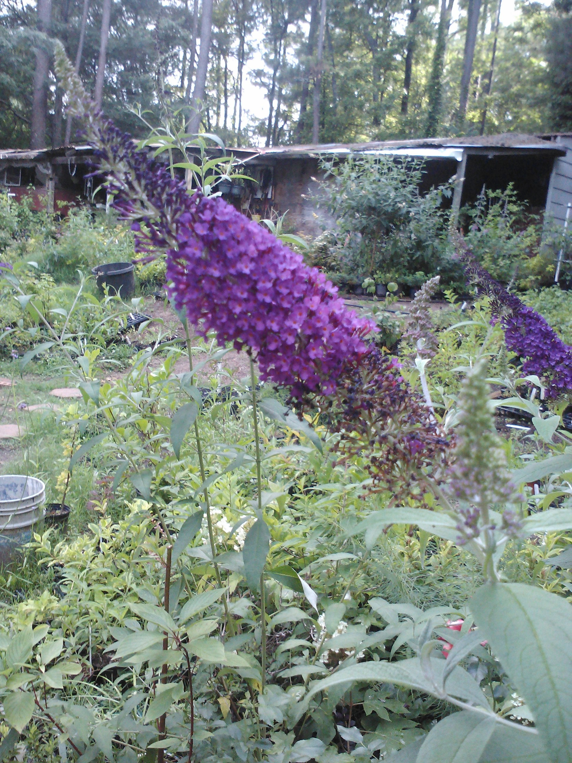 (3 Gallon) Blue Chip Jr. Butterfly Bush (Low and Behold Variety) Stunning Miniature Butterfly Shrub, Only 2' tall /wide Produces Fragrant Bluish Purple Blooms. Very Easy To Grow!