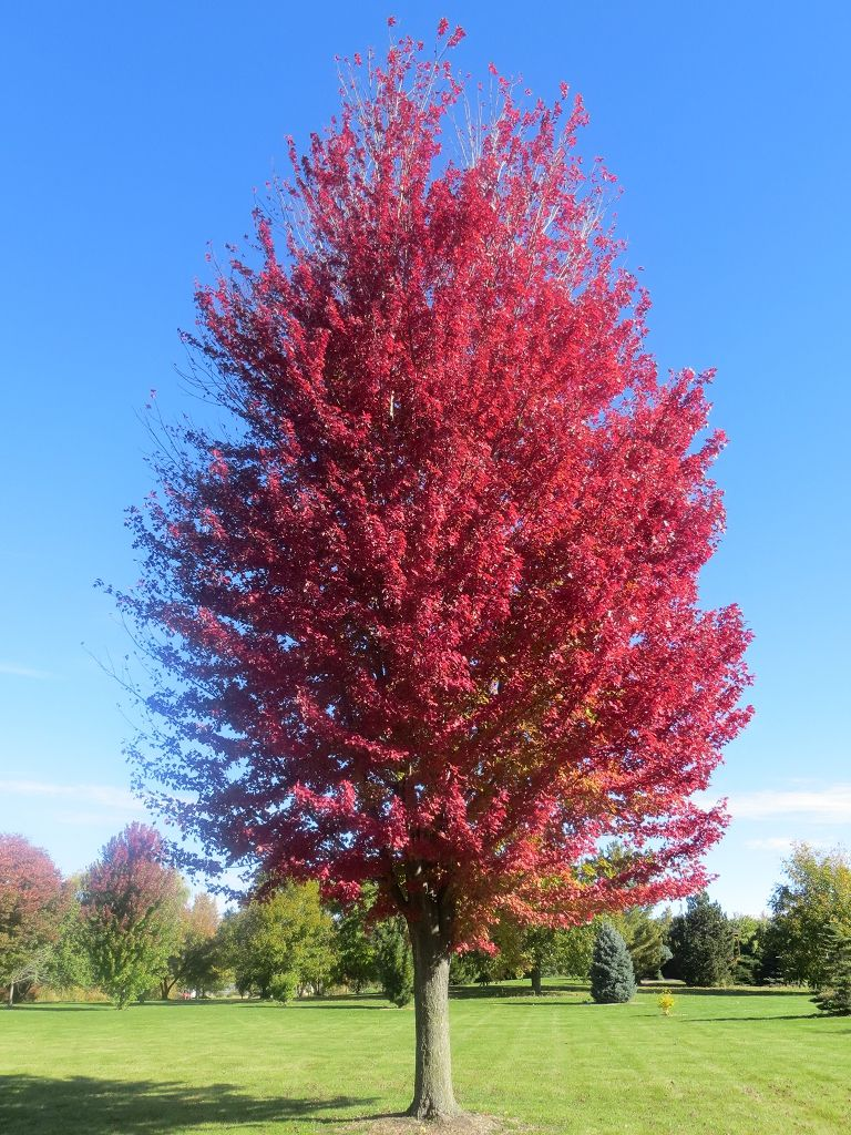 (3 Galllon, Bareroot) Autumn Blaze Maple Tree- Excellent hybrid with brilliant, long lasting, orange-red fall color, an upright, uniform branching habit and a rapid growth rate.