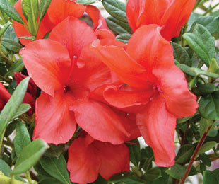 Encore Azalea Autumn Bravo Rhododendron 'Conlen' Blazing red blooms contrast nicely with the dark green foliage