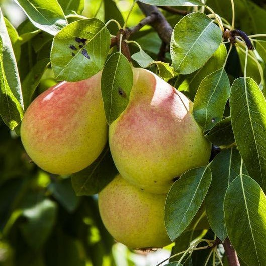 AYERS Pear Tree, A Southern Favorite, Very Sweet Yellow Pears With Red Blush. Grafted.