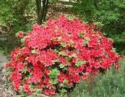 (1 Gallon) Girard's Crimson' AZALEA, Crimson Red Blooms, Evergreen Shrub,Cold Hardy,shipped in gallon pot-12-20 inches tall