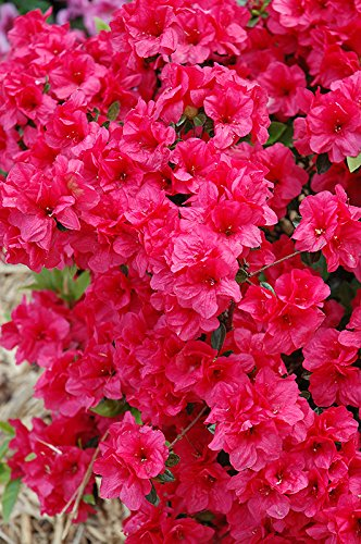 (1 Gallon) 'Hershey's Red' AZALEA, Abundance of Stunning Red Blooms, Evergreen Shrub, Cold Hardy,Shipped in gallon pot-12-20 inches tall,