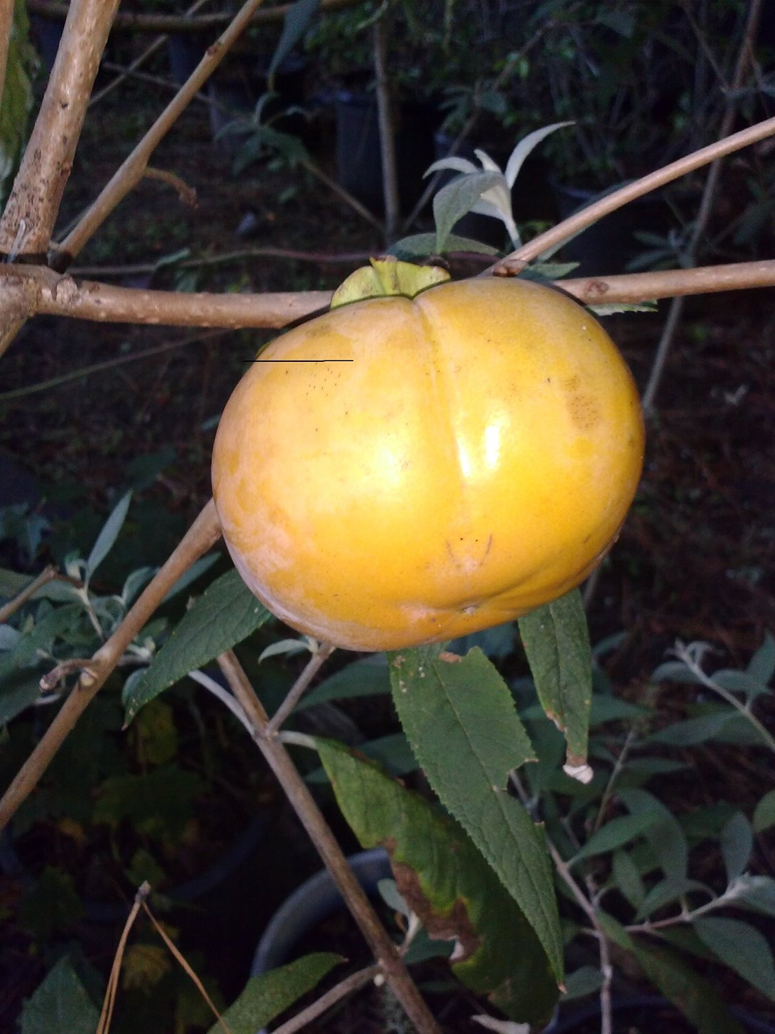Fuyu Japanese Persimmon- Reddish Orange fruit, High in Fiber and Vitamins. Non-astringent, firm-fleshed fruit