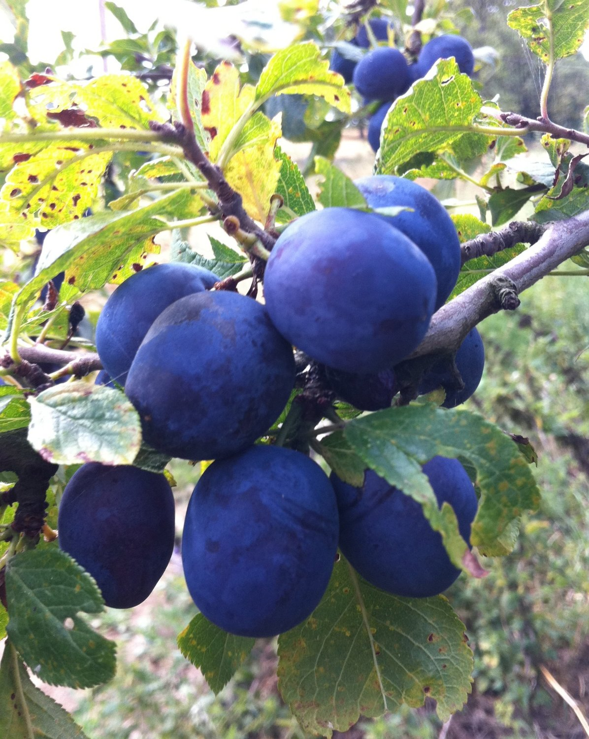 BLUE DAMSON PLUM tree, Very old variety, rugged, vigorous and dependable. Small, round, blue-black plums for jams and jellies.