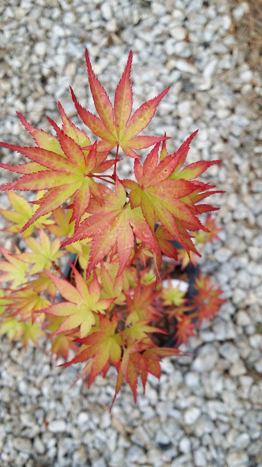 (1 Gallon) COONARA PYGMY Japanese Maple- DWARF compact small tree, Small bright green foliage. Fall colors pastel orange pink stages