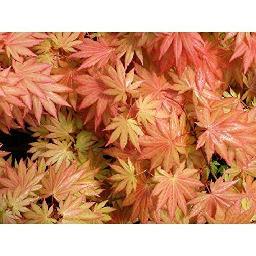 (1 Gallon) ORANGE DREAM Japanese Maple-a GORGEOUS upright, SHOWY foliage-Leaves steadily tone down to yellow green, flame bright orange-yellow in fall