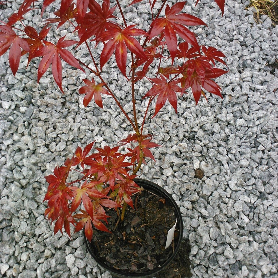 (1 Gallon) BLOODGOOD Japanese Maple-a GORGEOUS upright, Attractive foliage with burgundy red coloring turns brilliant scarlet in fall