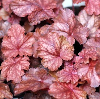 (1 Gallon Plant), Heuchera 'Amber Lady' Coral Bells, Evergreen, Soft, Velvety Amber Leaves with Silver Marbling Overlay and Rose Pink Undersides, White Flowers Highlight The Gorgeous Leaf Color.