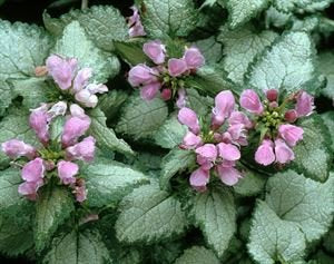 "(4.5"" pot/10 count flat) Lamium maculatum 'Beacon Silver' (Deadnettle) Silver leaves with green edge, pink flowers in spring. Light foot traffic. PIXIESDS_EGN"