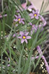 (10 Count Flat of 1 Quart Pots) Blue-eyed Grass: Sisyrinchium Angustifolium 'Blue Note' (Perennial) Attractive Dark Green Foliage with Violet Blue Flowers
