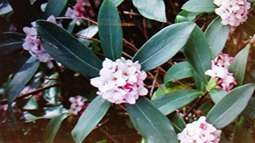 (3 Gallon) Daphne odora, Marginated pink, (FALL/WINTER BLOOMING) Extremely Fragrant Pink Blooms. Gorgeous Shade Plant. Delicate Cream Outline on the Outter Edge of Green Foliage.