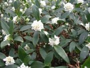 (3 Gallon) Daphne odora, Greenleaf White, Most Exotic Fragrant Flowers in Winter,(FALL/WINTER BLOOMING) Gorgeous Plant, Extremely Fragrant White Blooms from Jan-March