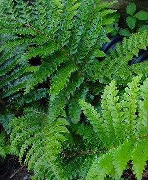 "(1 Gallon) TASSEL FERN, Polystichum polyblepharum means ""Many Eyelashes"". Gorgeous, Deep, Glossy Green Leaves, Hardy to Zone 5 PIXIESDS_EGN PIXIES_DUD"