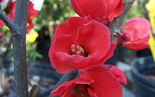 (3 Gallon) SPITFIRE Flowering Quince - Gorgeous Bright Red Blooms in Spring, One of 1st to Flowers To Bloom in Spring,