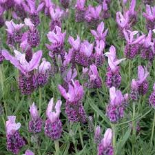 "(5"" Pot) ""Lavender with Love"" Lavender (Lavandula stoechas) - Compact, Aromatic Shrub with Prolific, Rose Pink Spikes of Flowers That Are Lavender Scented. Beautiful and Great in Bouquet"