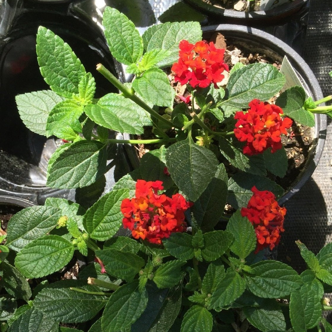 Lantana Dallas Red' (Groundcover) - Brilliant Blooms of Fiery Red, Yellow and Orange Flowers. Constant Bloomers