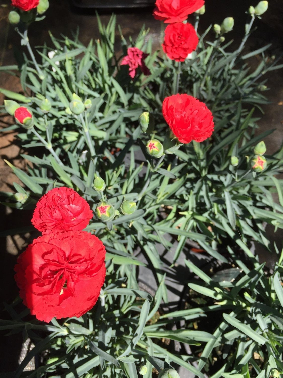 "(5"") Dianthus 'Chili' (Groundcover) - Gorgeous Dark Coral Double Blooms on Compact Blue Green Foliage. Fragrant Blooms From Spring to Fall. Easy to Grow."