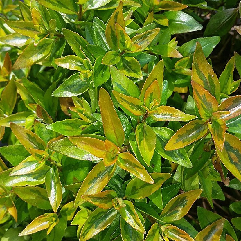 (3 Gallon) ABELIA Kaleidoscope, Astounding, DWARF, foliage has remarkable kaleidosope of colors, Compact Evergreen with Very Impressive Burgandy to Green Leaves, Compact and Dense Shrub, Small, White Flowers