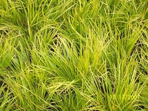 "(10 count flat - 4.5"" pots), Acorus gramineus 'Minimus Aureus' -Miniature Golden Sweet Flag, Tufts of yellow-green grass-like, sweetly fragrant leaf blades"