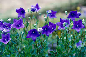 (Quart Pot/10 Count Flat)   Platycodon grandiflorus Sentimental Blue, 'balloon flower' Quart pot/10 count flat .  Gray-green foliage, inflated blue buds that open into single star-shaped flower, blooms all Summer.
