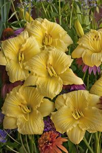 "1 Gallon Pot: Hemerocallis Rainbow Rhythm 'Nosferatu' Daylily. Fragrant, large 6"" shimmering dark purple flowers with chartreuse throat and pie crust ruffled petals appear midseason."