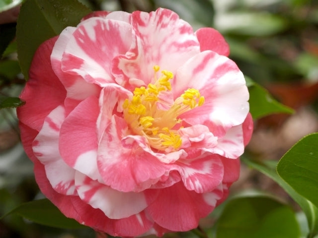 (1 Gallon) Camellia Bart Colbert deep pink, Variegated white FALL/WINTER BLOOMING