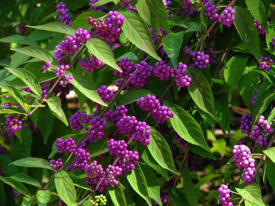 (1 gallon) American beautyberry-NATIVE PLANT, amazing bunches of glossy purple berries in fall