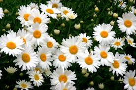 (1 Gallon) Leucanthemum x superbum Becky Shasta Daisy - Flower Heads with the Classic White Rays and Yellow Center Disks and Coarsely-Toothed, Lance-Shaped, Medium Green Leaves.
