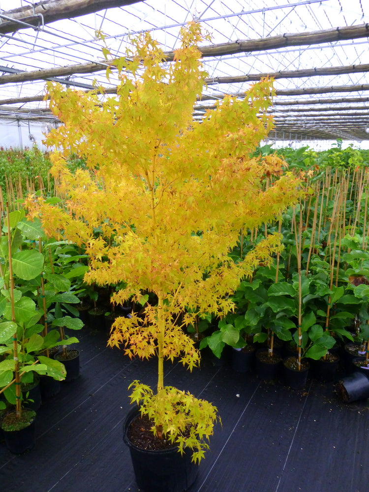 Bihou Japanese Maple- Beautiful small tree, Twigs and branches brighten up the landscape in yellow color