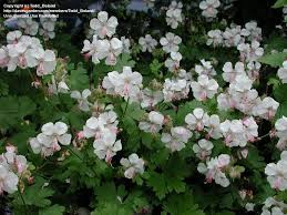 (1 Gallon) Geranium x cantabrigiense Biokovo - Long-persisting, white to pink sterile flowers bloom from late spring into early/mid-summer.