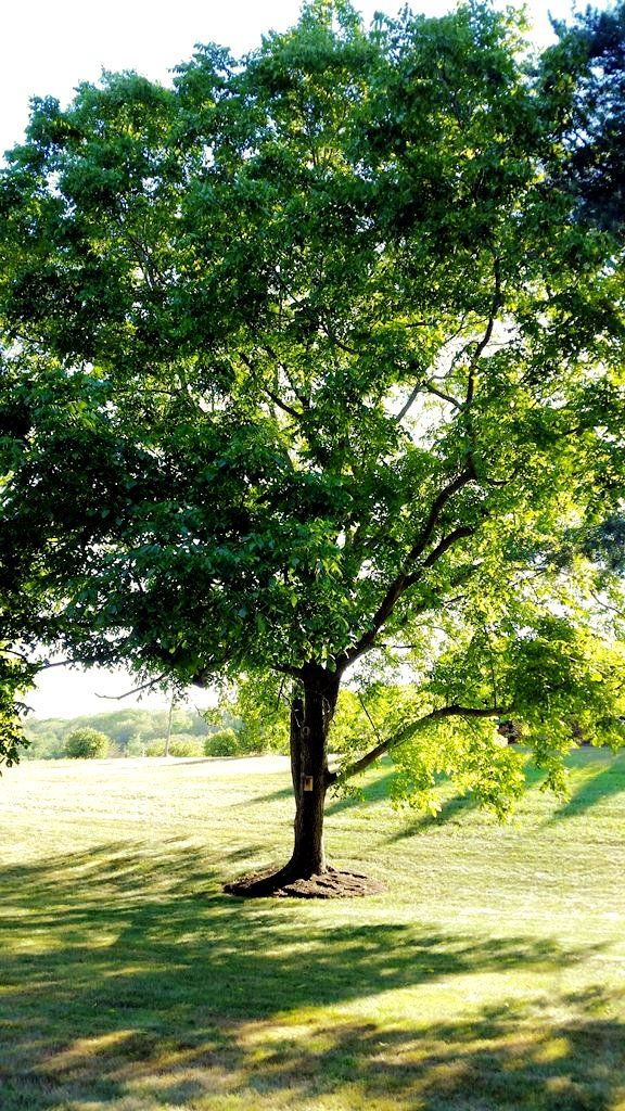 (2 Gallon, Bareroot) Black Walnut- Beautiful black walnut that reaches 75' tall with a round, low branching, open crown that spreads nearly as wide as it is tall.