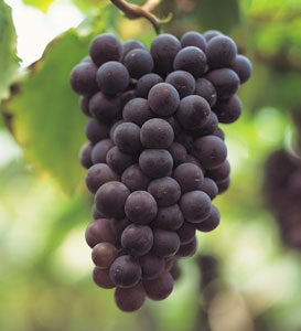 BLACK SPANISH Grape Vine Shrub- Black Grapes, wine produced is very similar to Merlot and Cabernet. Excellent vartiety for WINE and juices