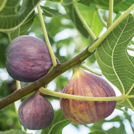 BLACK MISSION Fig Tree, considered best all-round fig, very popular, originated from spain, pear shaped, black to purple black color,