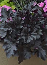(1 Gallon) Heuchera Primo Black Pearl PPAF Coral Bells Proven Winners® - An attractive black foliage, incredibly dense habit of shiny leaves with scalloped, ruffled edges and rosy purple undersides, topped with white flowers with pink calyxes.