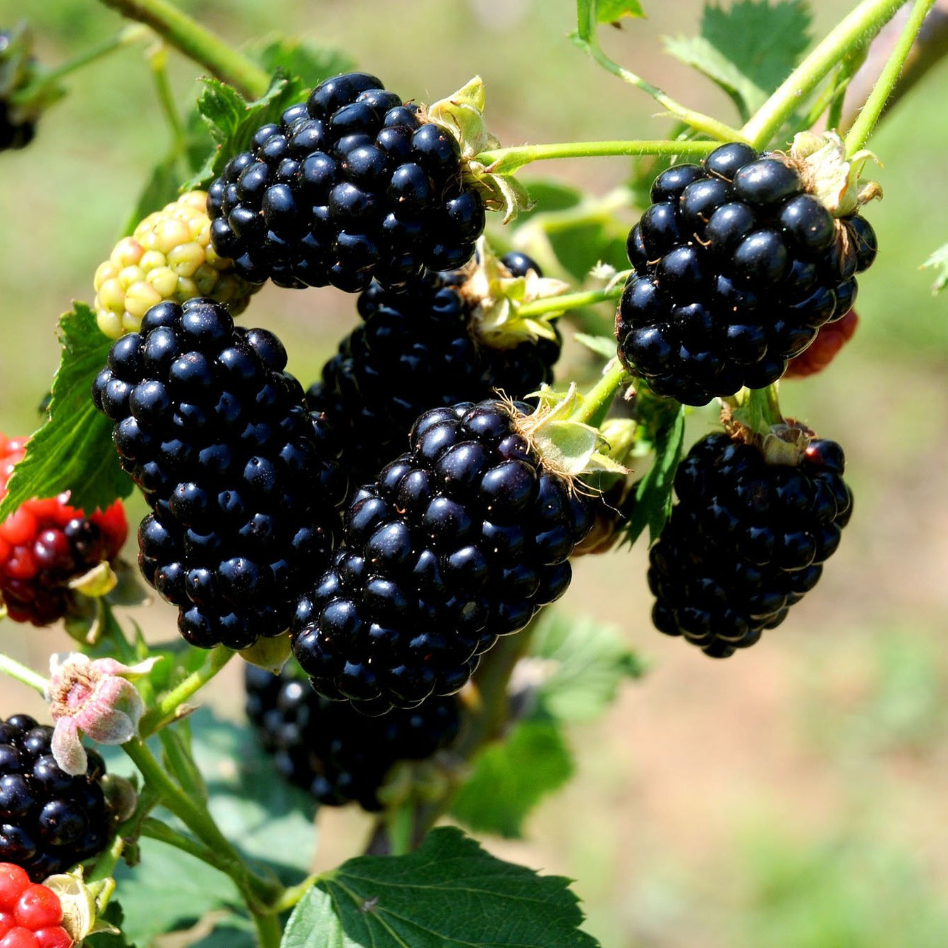 Blackberry Arapaho, Earliest Ripening Thornless Variety. Fruit Are Medium in Size and an Average Sugar Content of 9-10% (1 Gallon Bareroot Plant)