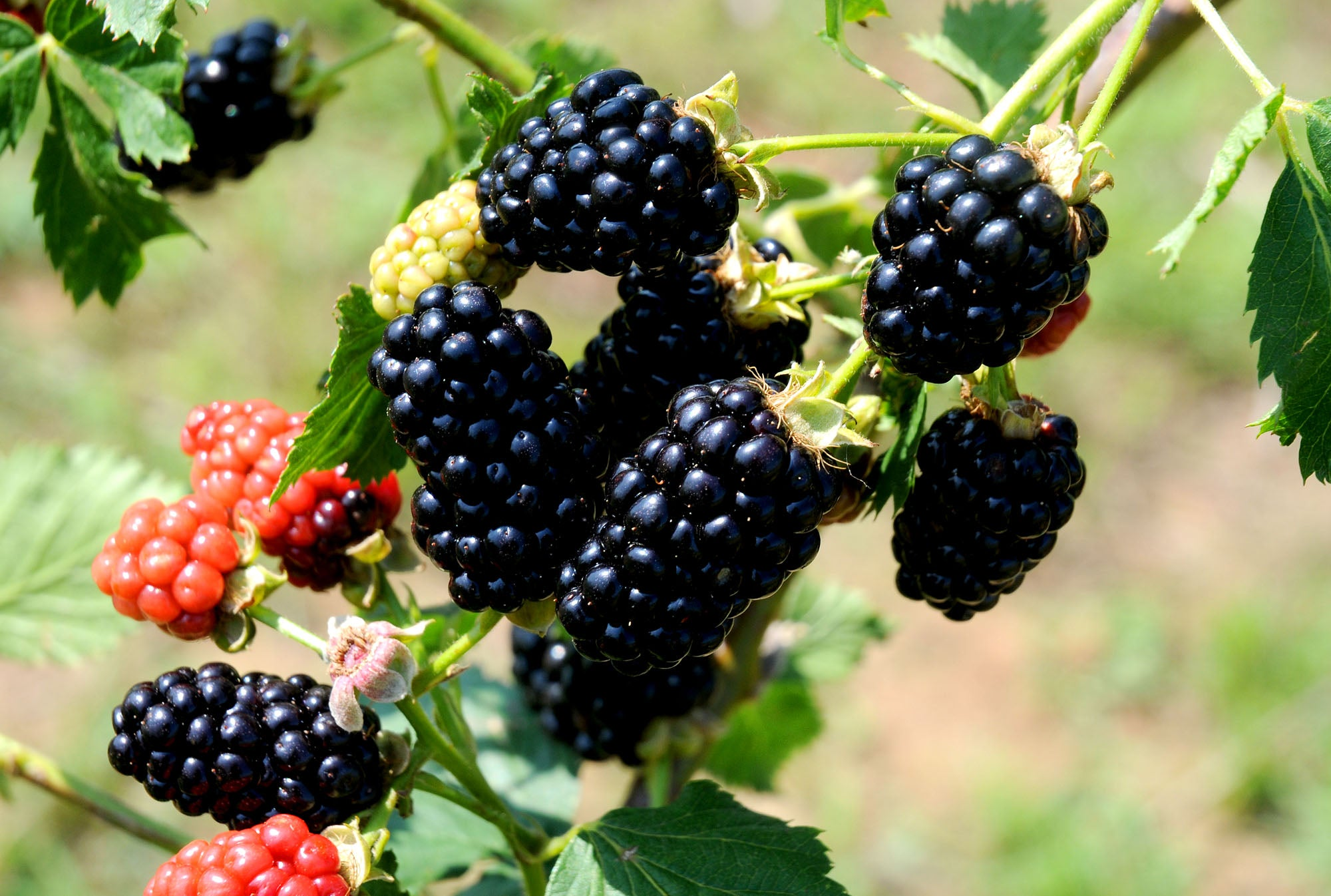 Blackberry Chickasaw, Erect Thorny Blackberry Produces Big Crops of Large, Long Cylindrical Fruit (1 Gallon Bareroot Plant)