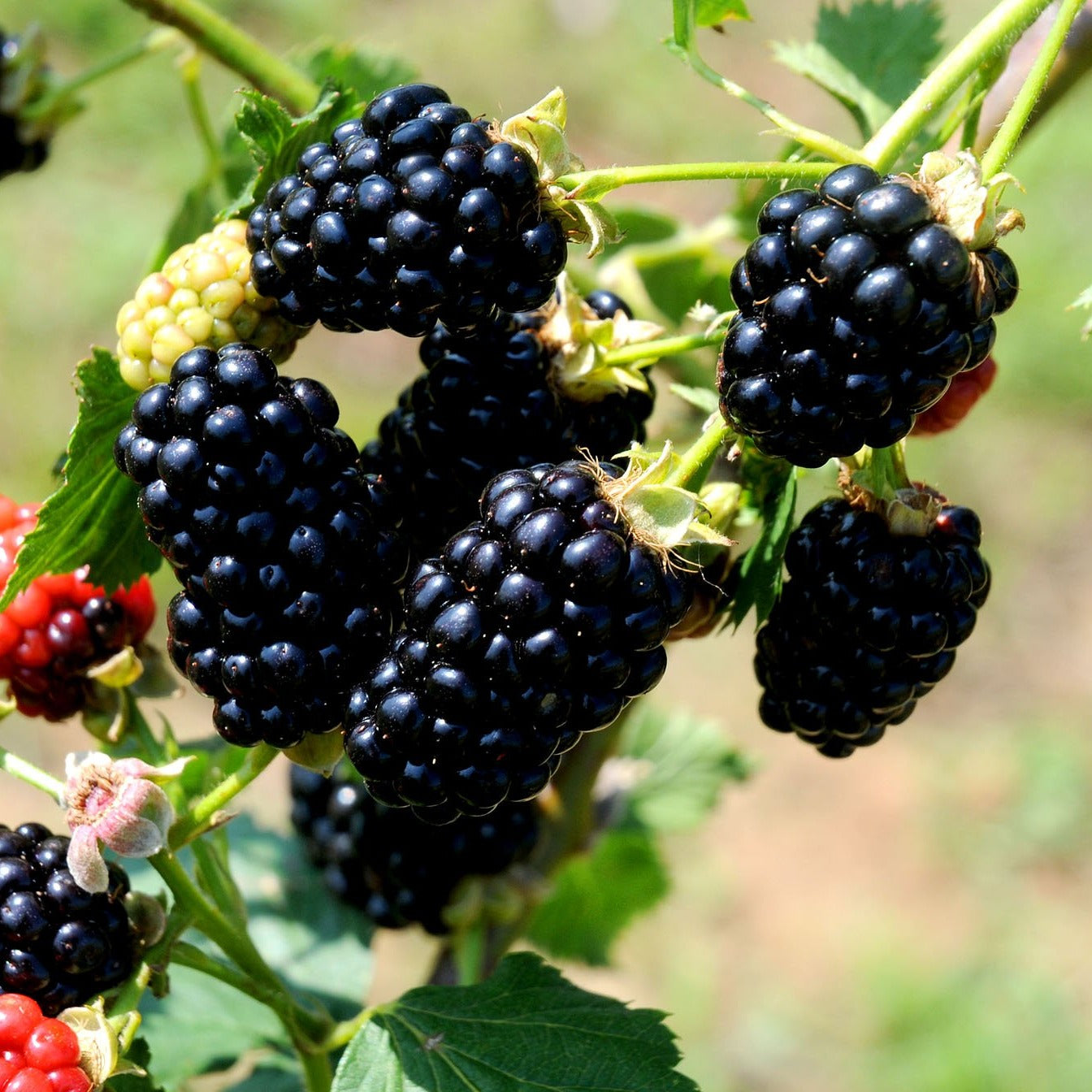 NAVAHO Blackberry, Thornless, Upright Produces Huge Tasty Berries in Large Clusters