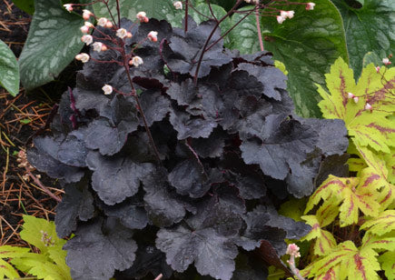 (1 Gallon) Heuchera BLACKOUT, Evergreen, the blackest of the coral bells, glossy jet black leaf with a purple underside, small white flowers in spring