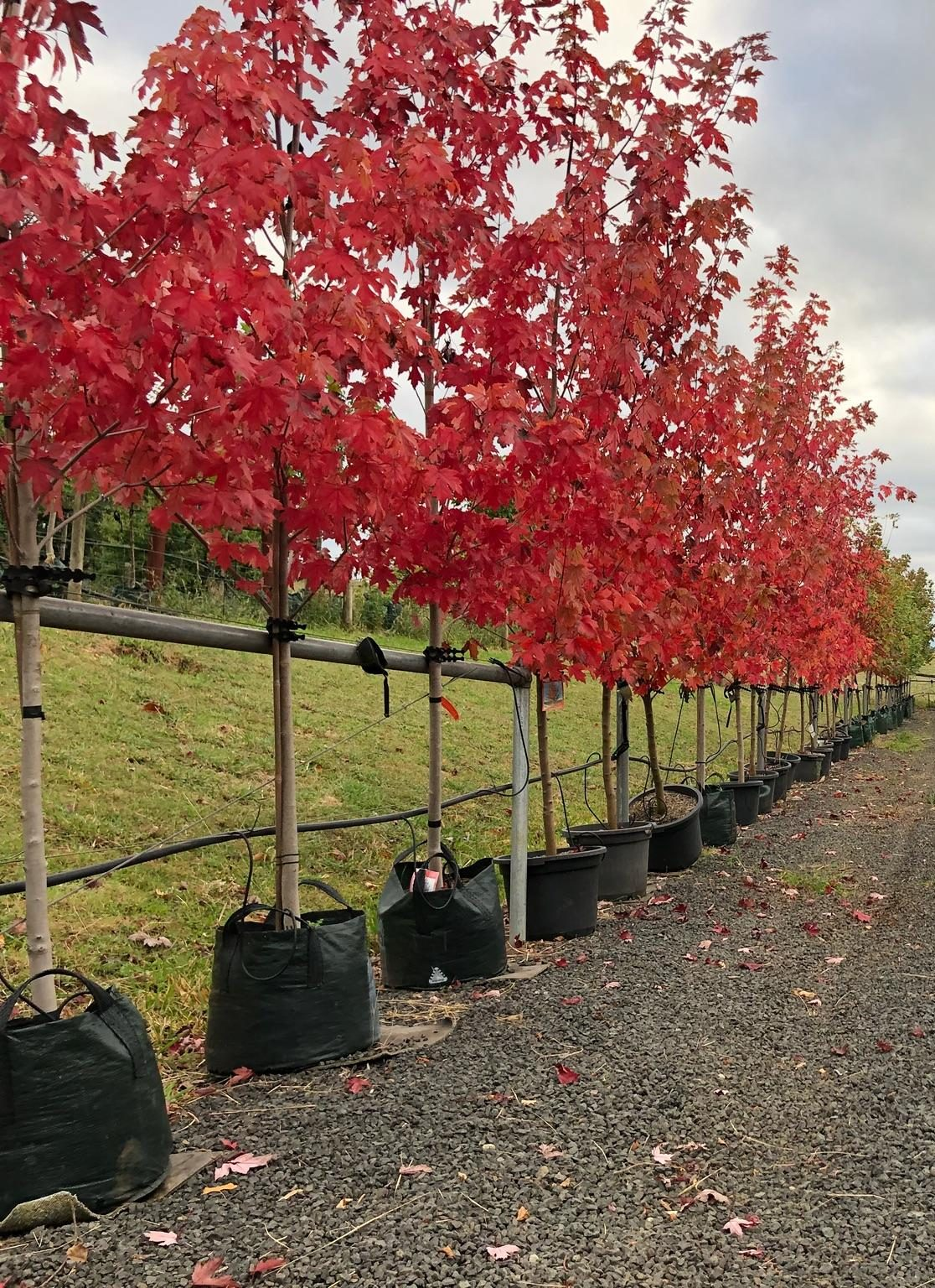 Acer x freemanii 'Jeffsred' 'Autumn Blaze'