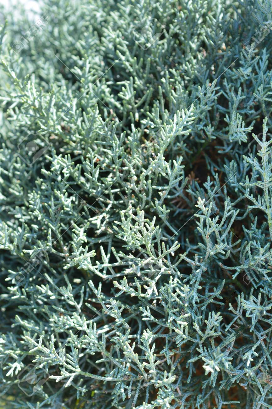 ARIZONA CYPRESS 'BLUE ICE' (Christmas Tree) aromatic and great for dry places, beautiful plant.