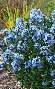 (1 Gallon) Amsonia 'Storm Cloud' Blue Star - Storm Cloud comes out with dark stems in the spring with blade-shaped leaves that are a deep green color with silver veining. Flower Color is Blue and blooms in Spring.