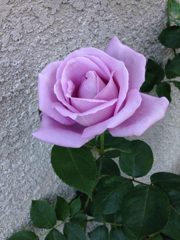 "(3 Gallon) Blue Girl Hybrid Tea Rose- Classic 5"" blooms of a lavender blue, with rose and lilac fragrance. Blooms from Spring through Fall. (bare-root)"