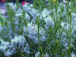 (1 Gallon) Amsonia hubrechtii Blue Star - JA graceful and long-lived native plant with very fine foliage, clusters of steel blue flowers. PIXIESDS_EGN