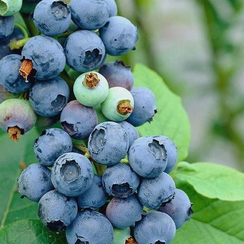 (3 Gallon, Bare-root Plant) Chaucer Blueberry Shrub, Medium Size Fruit That Ripens Early, Low Chill Hour Requirements. Good Choice for Warmer Climates