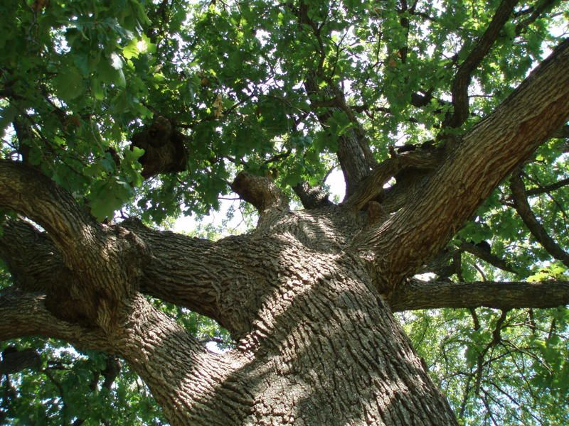 (1 Gallon, Bareroot) Nuttall Oak- This beautiful oak tree grows at a fast rate. It is great for landscape use; grows quickly, develops a good branching structure, tolerates wet soil as well as moderate drought