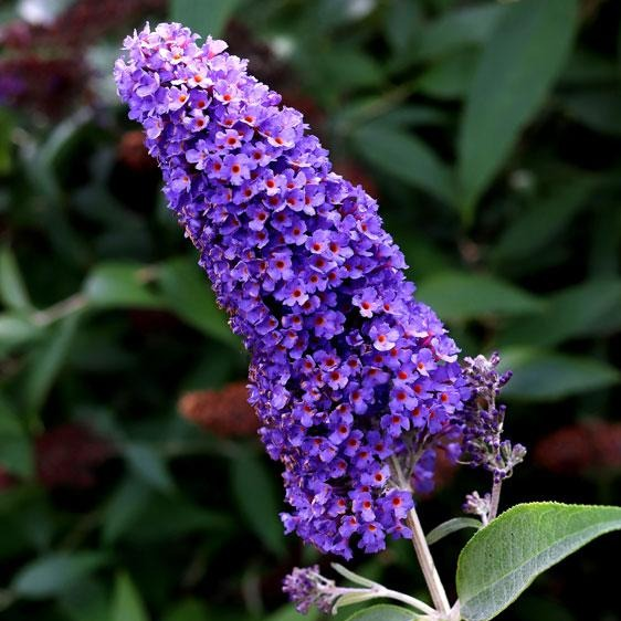 (1 Gallon)  ELLEN'S BLUE' Butterfly Bush, Deep Blue flowers, Silvery Leaves. Great for Any Garden, Beautiful and Attracts Pollinators.
