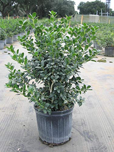 Burfordii Holly: Dark green folliage, Makes a lovely green foundation plant that reaches the proportions of a small tree over time, Excellent evergreen hedge or specimen,