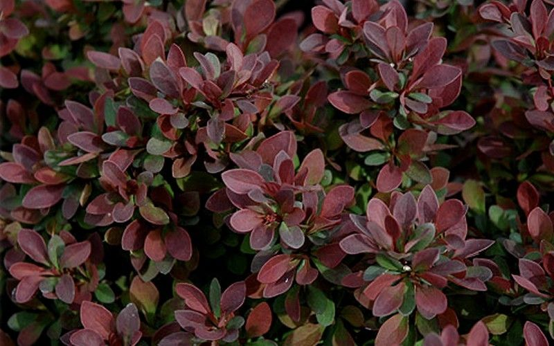 (3 Gallon) Royal Burgundy Barberry- Beautiful broad-rounded, shrub with obovate green leaves. Leaves typically turn attractive shades of orange, yellow & red in fall. Excellent for barriers/hedges .