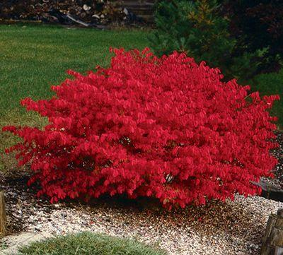 BURNING BUSH SHRUB- BLUE-GREEN COLORED LEAVES IN SUMMER TURNS INTO FIERY RED FALL FOLIAGE -AN EXCELLENT LANDSCAPE PLANT.